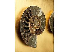 Detailabbildung: Dekorativer fossiler Ammonit