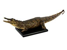 """Detailabbildung: Prächtiges Tierpräparat """"Crocodylus niloticus"""""""