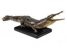 """Detail images: Prächtiges Tierpräparat eines kleinen """"Crocodylus niloticus"""""""