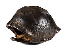 Detailabbildung: Panzer einer Riesenschildkröte