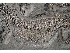 Detailabbildung: Hochseekrokodil (Steneosaurus bollensis)