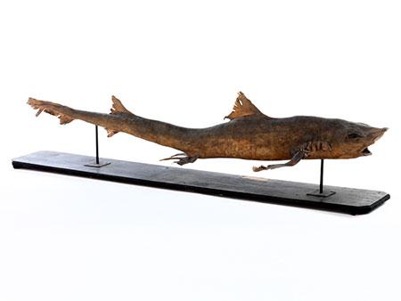 Präparat eines Haifisches