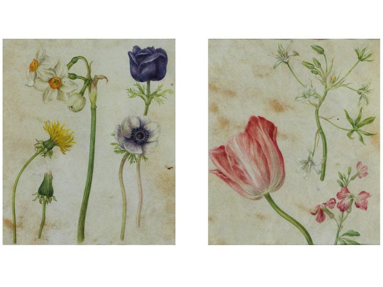 Blumenmalerei in Pergament in Art der Nachfolge von Maria Sibylla Merian, 1647 – 1717