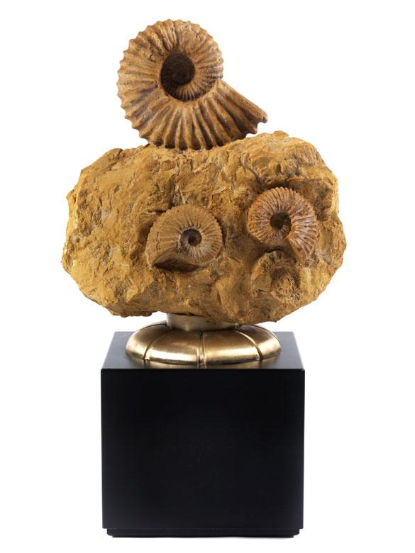 Gruppe Acanthoceras Ammoniten
