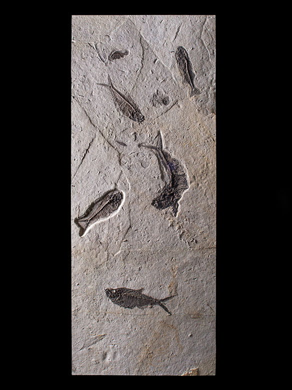 Außergewöhliche Fossilienplatte mit Diplomystus und Knightia Fischen