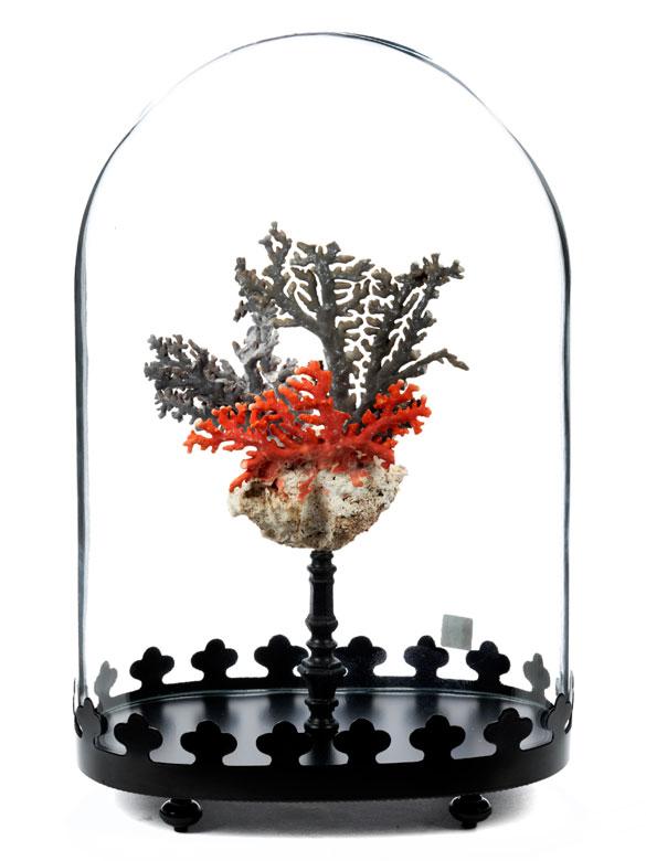 Roter Korallenzweig unter Glassturz
