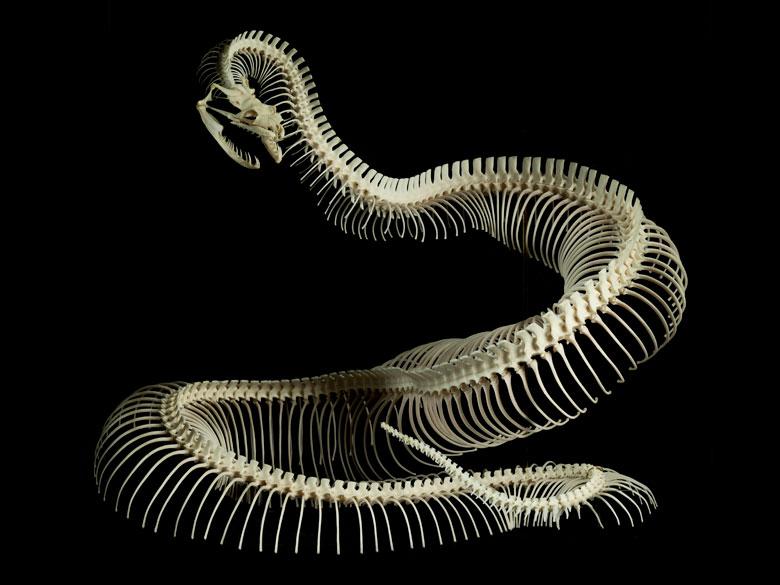 Skelett einer Kurzschwanzpython
