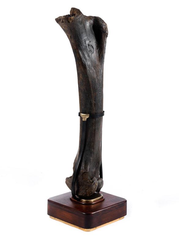 Fossiler Mammut-Oberschenkelknochen