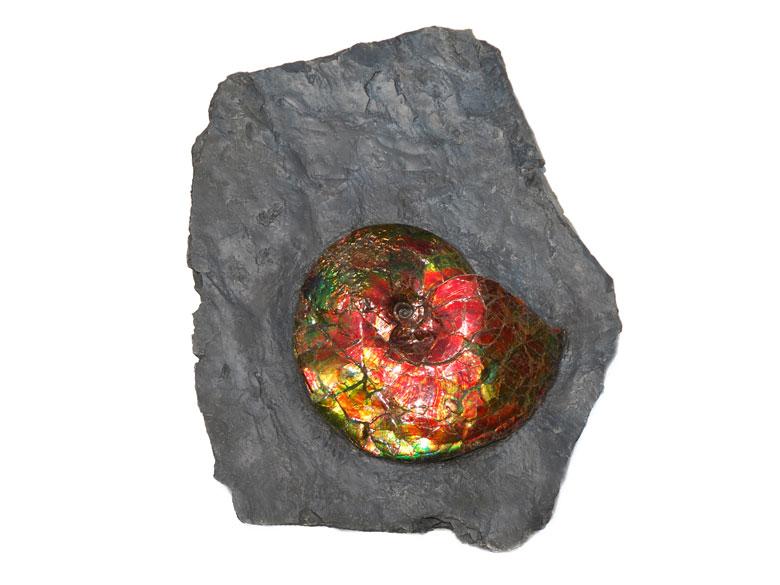 Opalisierender Ammonit Platylenticeras Costatum
