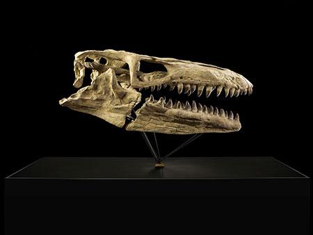 Schädel eines Mosasaurus Prognathodon sp.