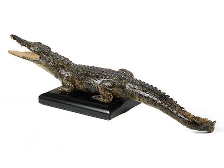 """Prächtiges Tierpräparat eines kleinen """"Crocodylus niloticus"""""""