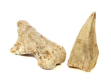Zwei Dinosaurier-Fossilien