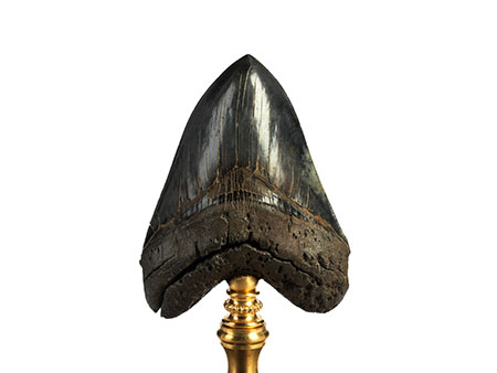 Sehr schöner fossiler Megalodon-Zahn
