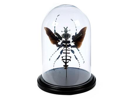 Fragmentierter Goliath-Käfer