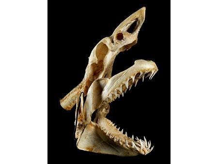 Schädel eines Makohais