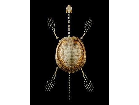 Skelett einer Wasserschildkröte