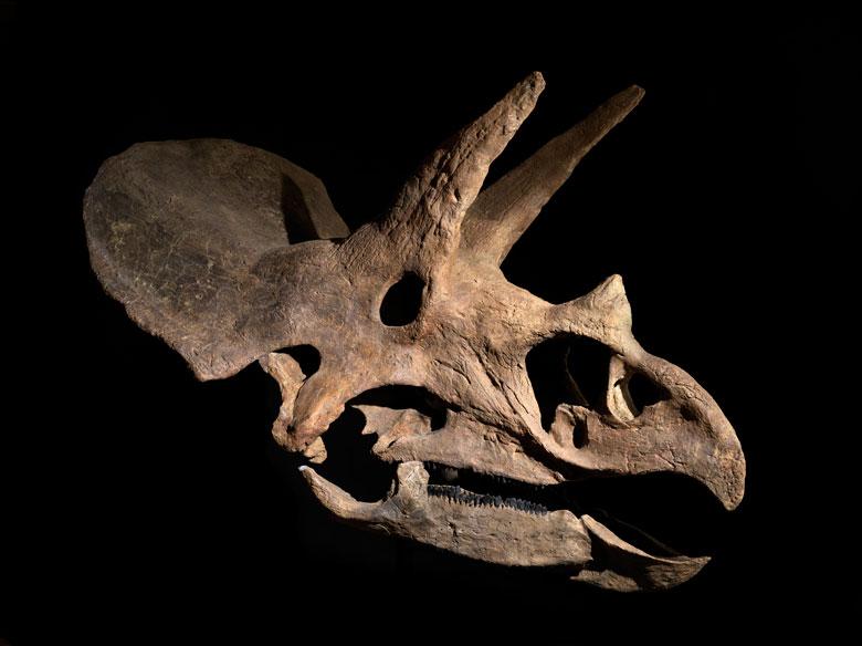Fossiler Schädel eines Triceratops horridus