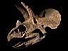 Detail images: Fossiler Schädel eines Triceratops horridus