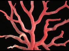 Detail images: Großer Korallenbaum als barockes Kunstkammerobjekt