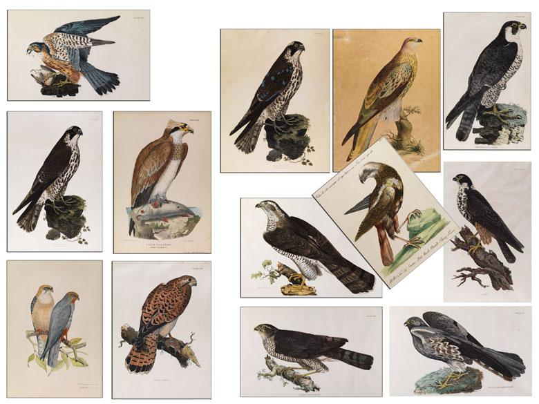 Falken-Darstellungen 16. - 19. Jahrhundert.