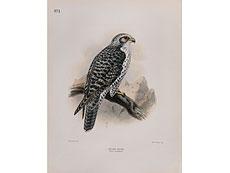 Detail images: Falken-Darstellungen 16. - 19. Jahrhundert.