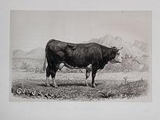 Detail images: Große Lithografien zu verschiedenen Rinder-Rassen