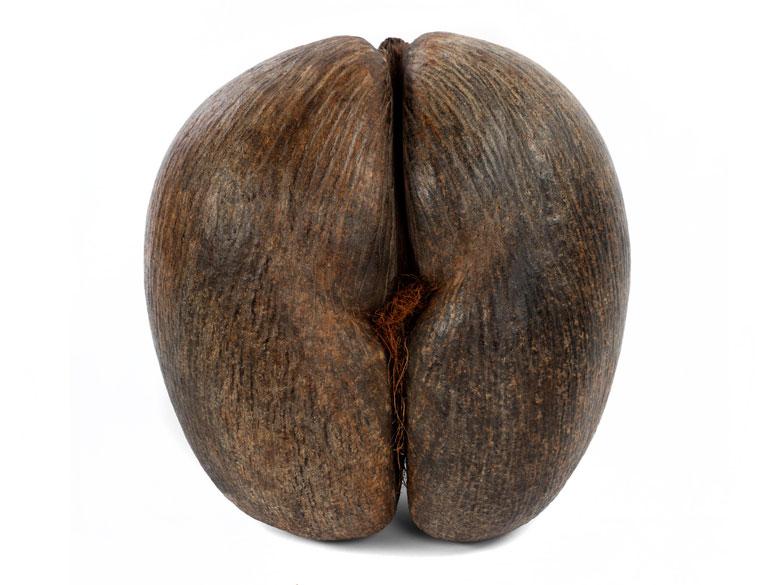 Coco de Mer-Nuss in erotischem Erscheinungsbild