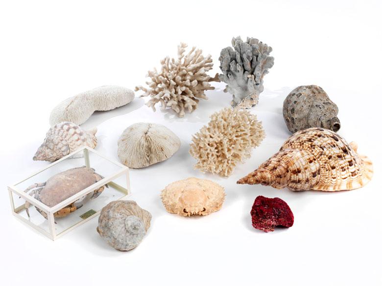 Konvolut von zwölf Muscheln und Korallen bzw. Meerestieren