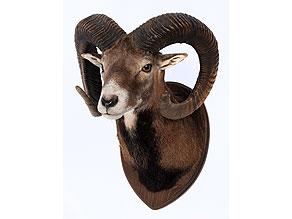 Geweihtrophäe eines Mufflon
