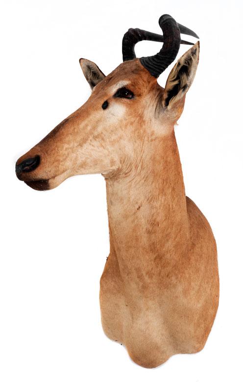 Kuh-Antilope